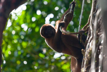 Woolen monkey in nature, sitting on a tree, Amazon river.