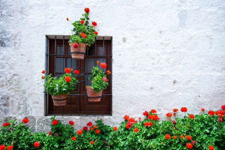Many of blooming red geraniums near the wall of the house and around the window, a wall of light color, pots with red flowers on the window Standard-Bild