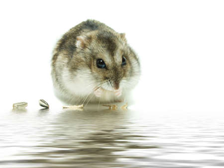 hamsters: Hamster with food in front on a white background. Stock Photo