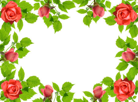 frame from green leaflets and roses over white background.