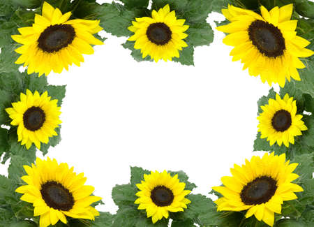 leaflets: frame from green leaflets and sunflower over white background. Stock Photo