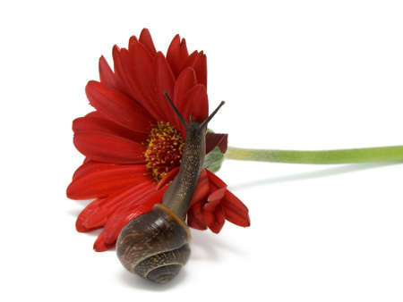 to creep: snail creep on a red flower on white background. Stock Photo