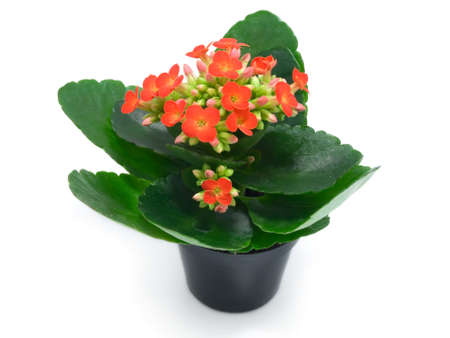houseplants: green houseplants with red flowers  Stock Photo
