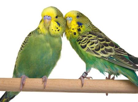 pair budgerigar on white background photo
