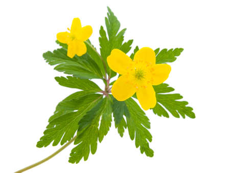 buttercup flower: yellow buttercup flower  the spring