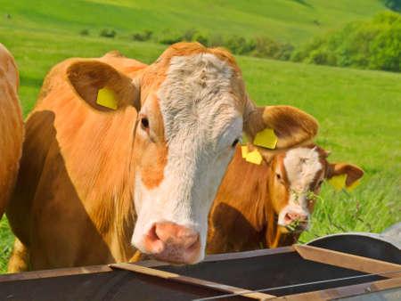schweiz: Cow in green field