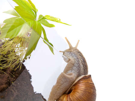 grape snail: Young green plant in a glass pot with grape snail on a white background. Stock Photo