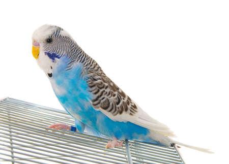 budgerigar: budgerigar on cage  Stock Photo