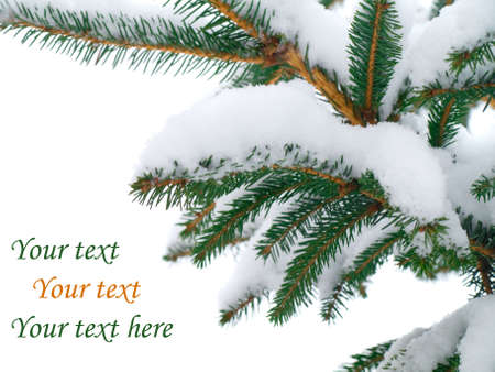 Fir tree branch covered with snow on white background   Stock Photo