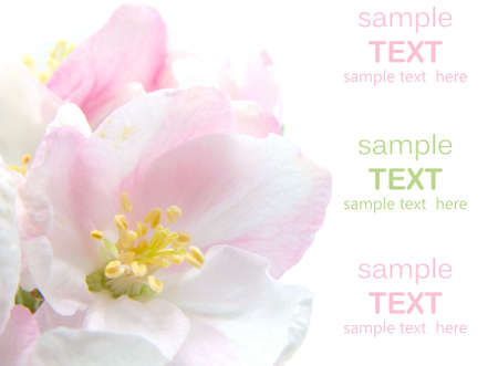 Apple Blossom closeup.Studio isolated with with room for text  Stock Photo