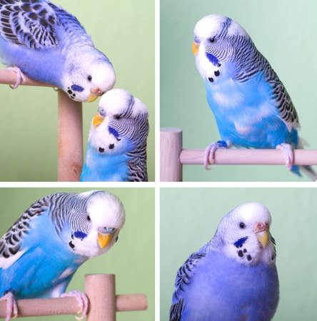 budgerigar: four foto of blue budgerigar sitting on a perch Stock Photo