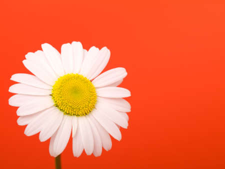 camomile on red background Stock Photo - 6470795