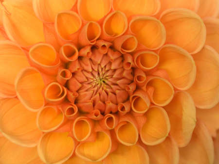 aster flowers: orange flower dahlia  radial pattern background