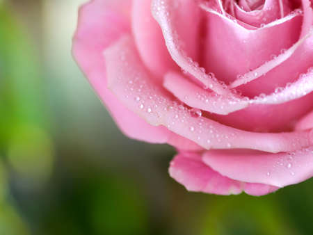 beautiful half rose with water droplets Stock Photo - 6516221