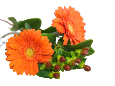 two gerber daisy isolated on white background  photo