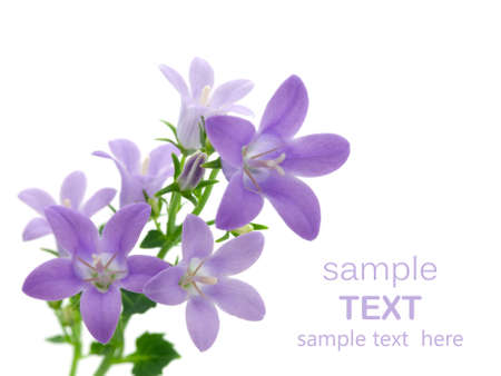 flower card: campanula flowers isolated on white, with room for text     Stock Photo