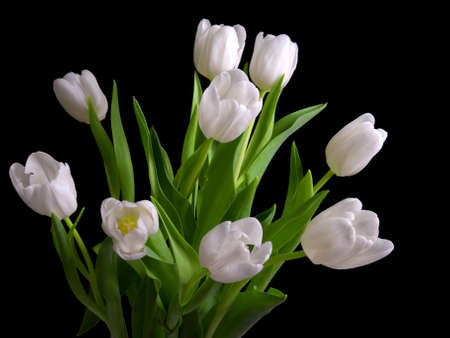 tulip  flower: white tulips on black background