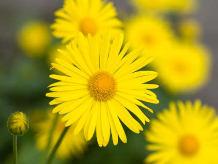 Summer yellow flowers Doronicum. Ornamental plant in the Asteraceae family. photo