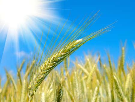 wheat harvest on blue sky with sun photo