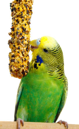 Korn: budgerigar with birdseed, isolated on a white background
