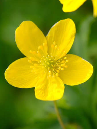 yellow buttercup flower the spring  photo