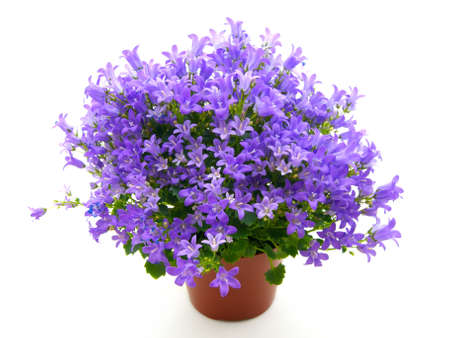 plant pot: campanula flowers isolated on white