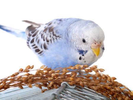 budgerigar: budgerigar with birdseed on cage