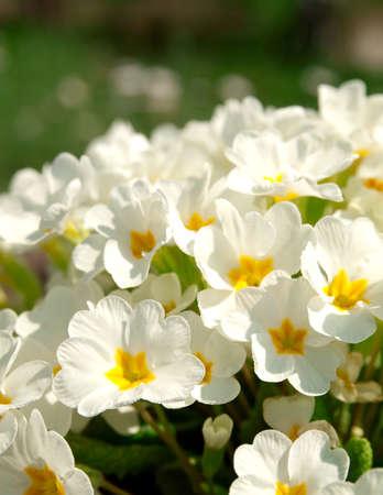 vulgaris: Primrose (primula vulgaris). Flowering in spring