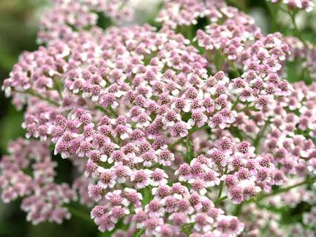 milfoil: achillea millefolium flower Stock Photo