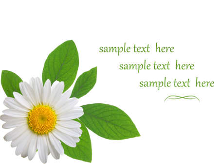 camomile isolated on white background with with room for text  photo
