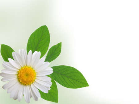 camomile isolated on white background with with room for text  Stock Photo - 9101787