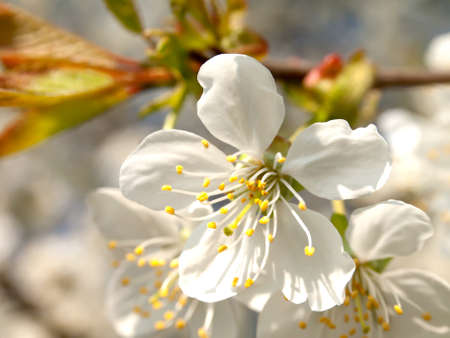 Branch blossoming apple-tree in the spring  photo