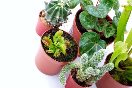 Potted plants on a white background. Sarracenia, Venus Flytrap, cactus, cyclamen photo