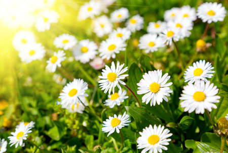 wildflowers: Daisies in a meadow with sunlight, close-up  Stock Photo