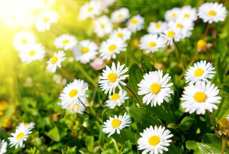 fiori di campo: Margherite in un prato con la luce solare, Close-up  Archivio Fotografico