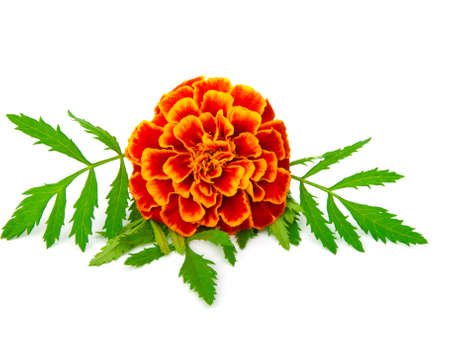 ringelblumen: Red Studentenblume (Tagetes) isoliert auf weiss  Lizenzfreie Bilder