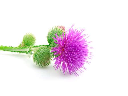 ゴボウの花序。白い背景の上