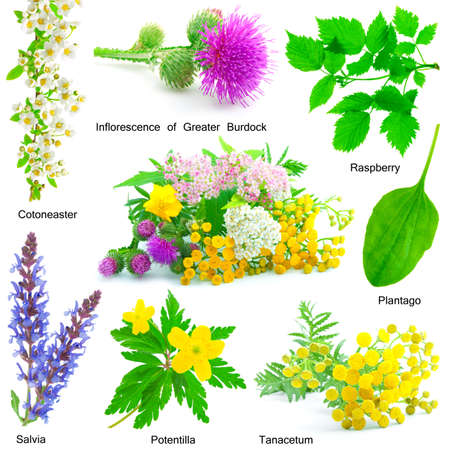 medical herbs: set of medicative herb, isolated on a white background.