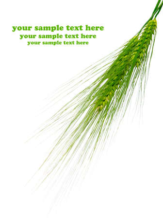 Green rye spikes with room for text on white background  photo