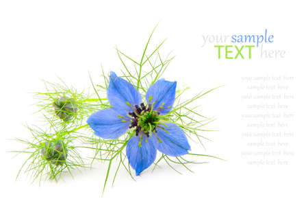 Nigella damascena,  isolated on a white background photo