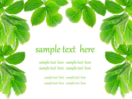 botanical medicine: green leaves on white background  Stock Photo