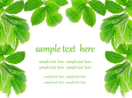 medicinal plants: hojas de color verde sobre fondo blanco