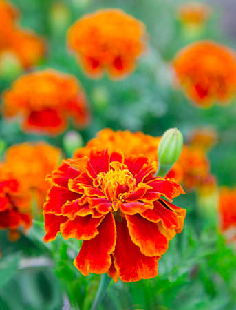 patula: french marigold in a flowerbed, targets patula