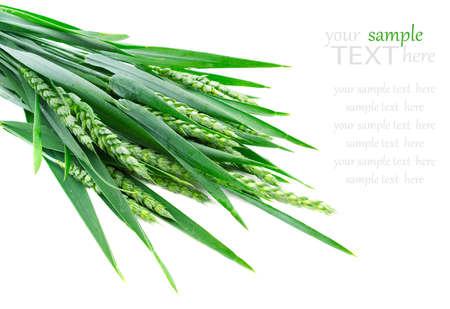 Green rye spikes on white background. photo