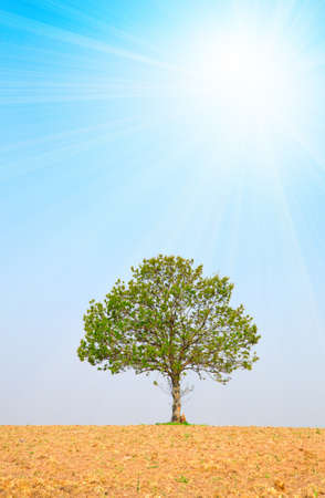 tree and sun on blue sky, around on the ploughed earth.  photo