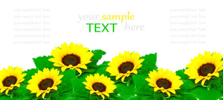 Sunflowers isolated on white background, with room for text Stock Photo - 10117851