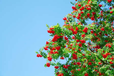 A tree with rowan berries on blue sky Stock Photo - 10277975