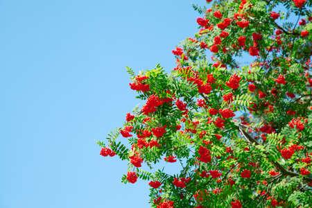 A tree with rowan berries on blue sky Stock Photo