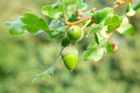 Acorn onder blad van de oak