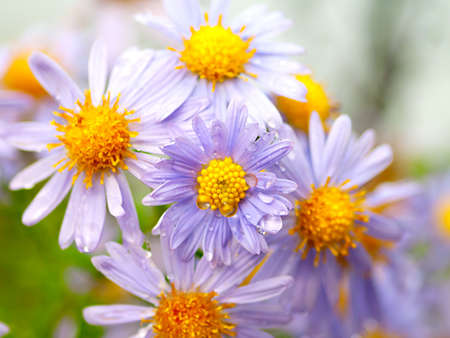 Magenta asters. Shallow Depth Of Field.  photo